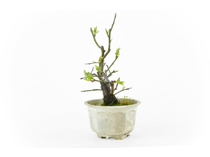Japanse pruim (Yabai), 17 cm, ± 8 jaar oud met helderwitte bloemen