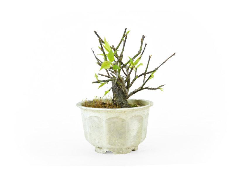 Japanse pruim (Yabai), 11 cm, ± 8 jaar oud met helderwitte bloemen