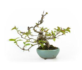 Japanese cherry (Sakura), 17 cm, ± 15 years old