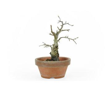 Kakiboom, 15 cm, ± 12 jaar oud