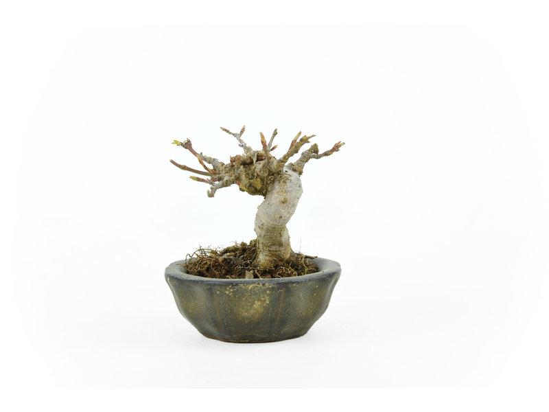 Japanse esdoorn, 7 cm, ± 10 jaar oud