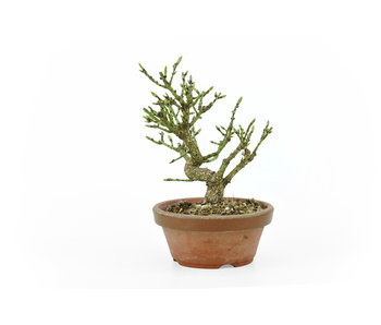 Spindletree alato (Nishikigi), 13 cm, ± 9 anni