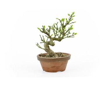 Spindletree alato (Nishikigi), 14 cm, ± 9 anni