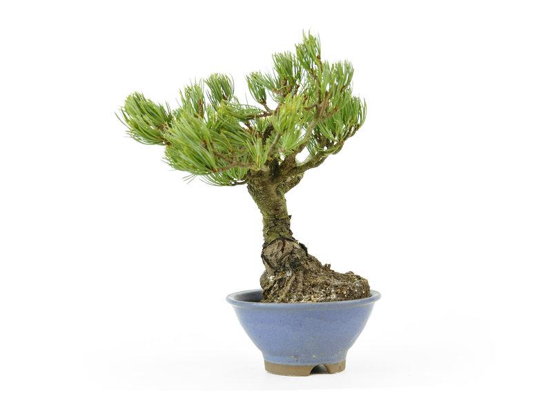 Japanse witte den, 20,9 cm, ± 15 jaar oud, die is geënt op zwarte pijnboomwortels, waardoor er mooie compacte naalden ontstaan