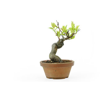 Japanese cherry, 19 cm, ± 12 years old