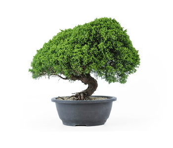 Chinese juniper, 28 cm, ± 18 years old
