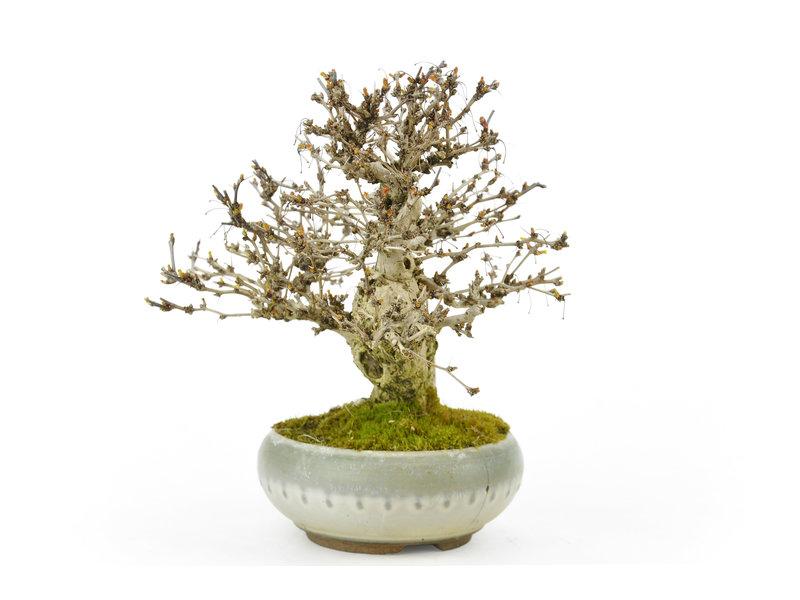 Japanse Zuurbes, 17 cm, ± 30 jaar oud met een zeer bochtige boomstam, maar in een gebroken pot