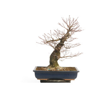 Japanese maple (Arakawa), 48 cm, ± 40 years old