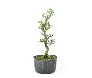 Rock cotoneaster, 19,01 cm, ± 8 years old