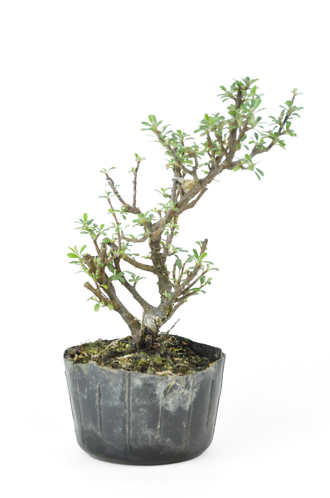 Albero Con Bacche Rosse cotoneaster rock, 17 cm, ± 8 anni - bonsaiplaza
