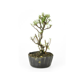 Rock cotoneaster, 16 cm, ± 8 years old