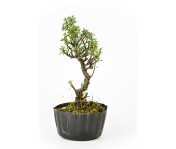 Rock cotoneaster, 16,01 cm, ± 8 years old