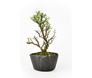 Rock cotoneaster, 16,02 cm, ± 8 years old