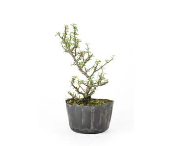 Rock cotoneaster, 16,03 cm, ± 8 years old