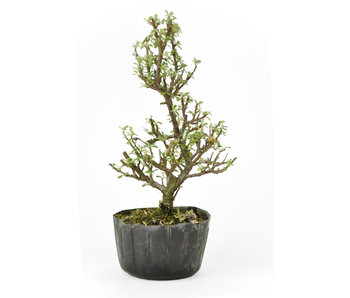 Rock cotoneaster, 20 cm, ± 8 years old