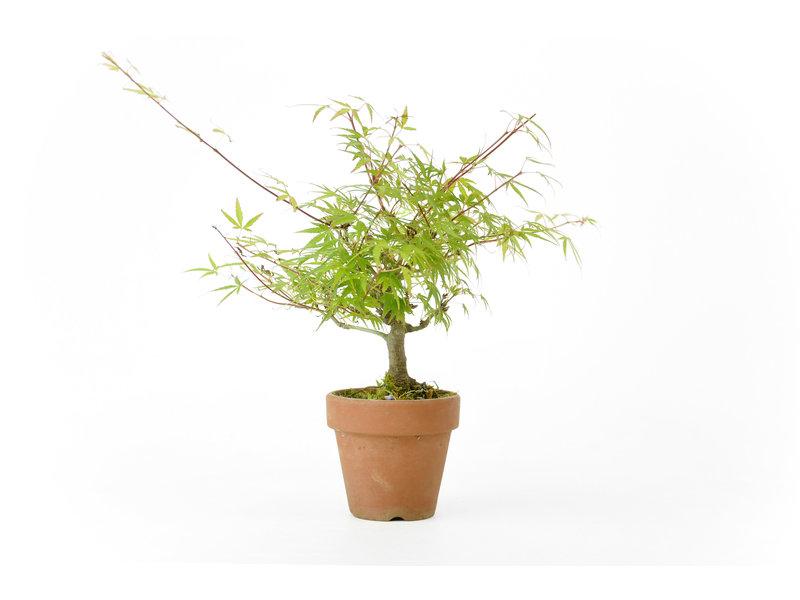 Japanse esdoorn, 18,5 cm, ± 10 jaar oud in een variëteit met extra kleine bladeren