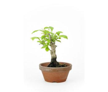 Kakiboom, 10 cm, ± 12 jaar oud