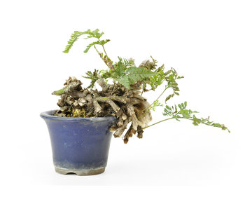 Japanese fern (Nekko), 9 cm, ± 10 years old
