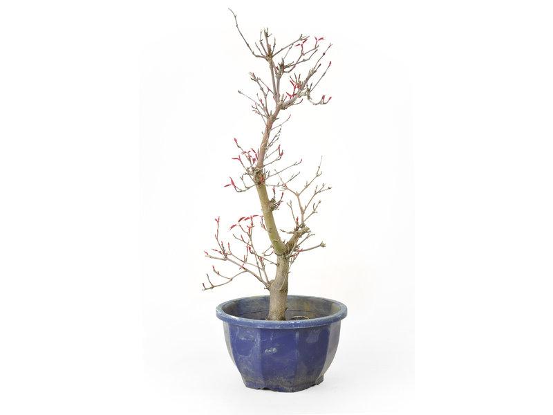 Japanse esdoorn (Deshojo), 27 cm, ± 10 jaar oud