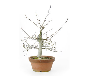Japanese white beech or Siebold's beech (Buna), 32 cm, ± 40 years old