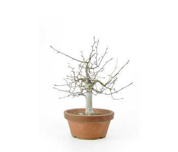 Japanese white beech or Siebold's beech (Buna), 27 cm, ± 40 years old