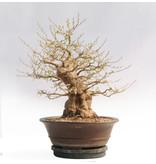 Japanse storaxboom, 65 cm, ± 54 jaar oud