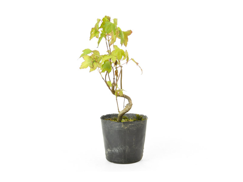 Trident maple, 17,5 cm, ± 6 years old