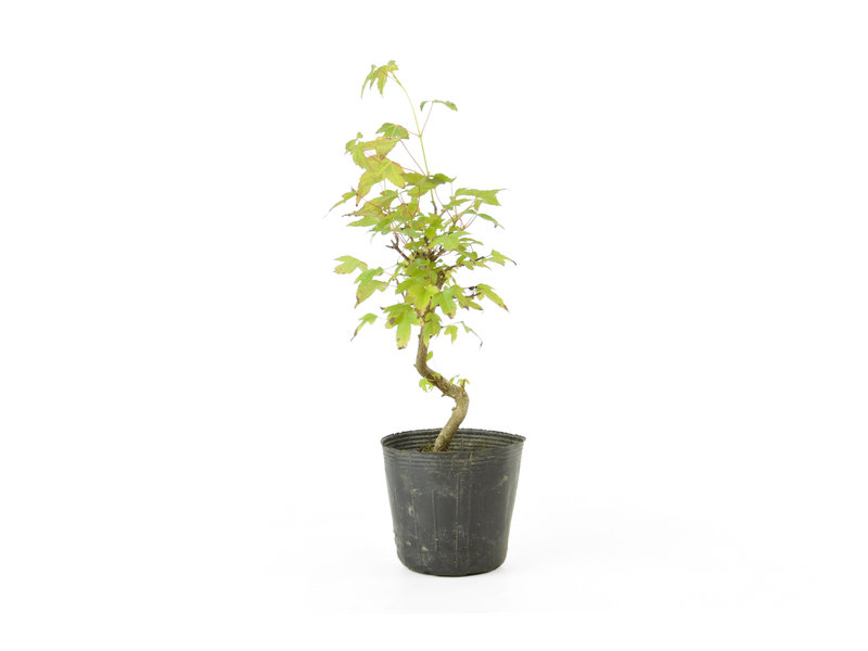 Trident maple, 20 cm, ± 6 years old