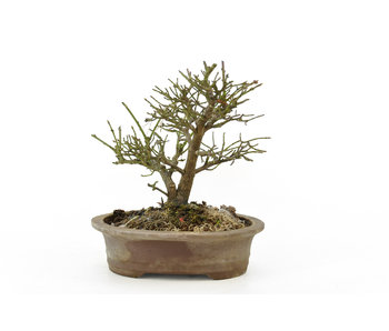 Albero mandrino (Mayumi), 15 cm, ± 15 anni