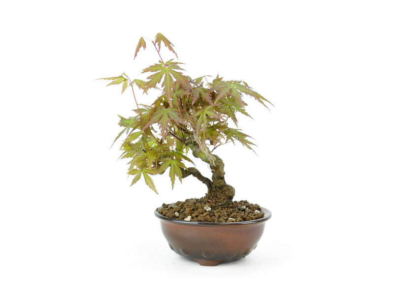 Japanese maple, 16 cm, ± 8 years old