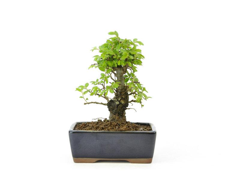 Chinese lep, kleinbladerig met kurk, 13 cm, ± 8 jaar oud