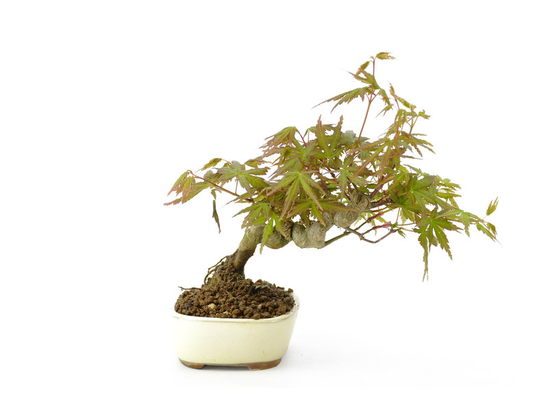 Japanse esdoorn, 20 cm, ± 9 jaar oud