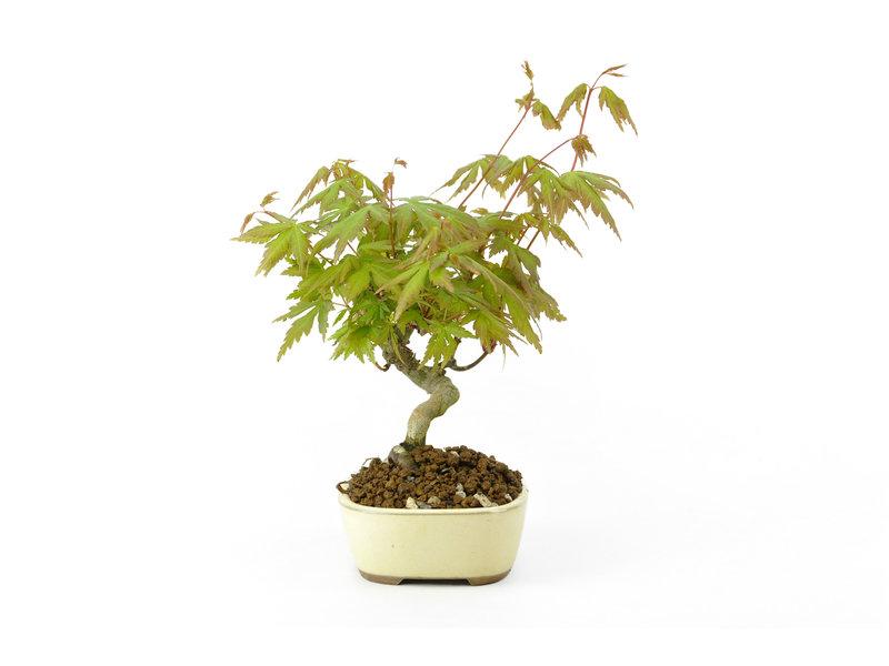 Japanse esdoorn, 18 cm, ± 9 jaar oud