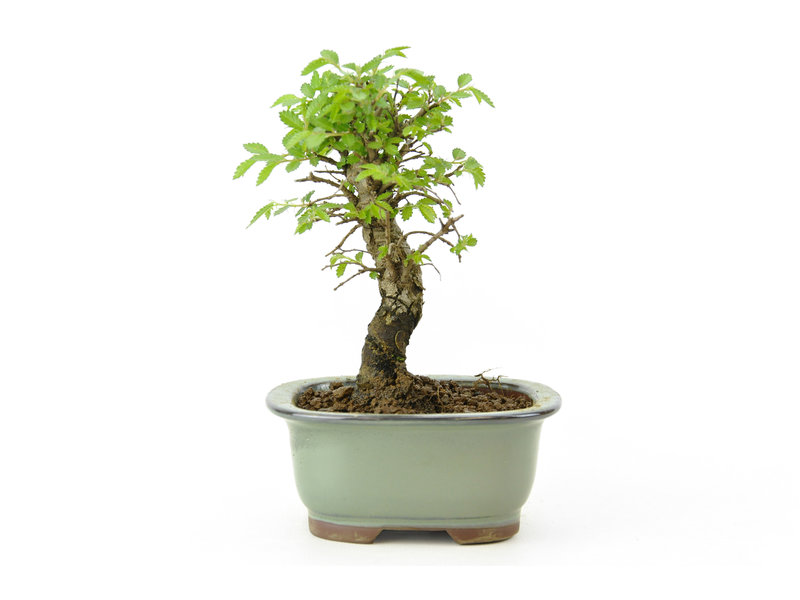 Japanse schijniep, 13 cm, ± 8 jaar oud