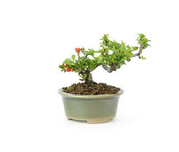 Mela cotogna cinese (C.lagena (Chojubai)), 9 cm, ± 20 anni
