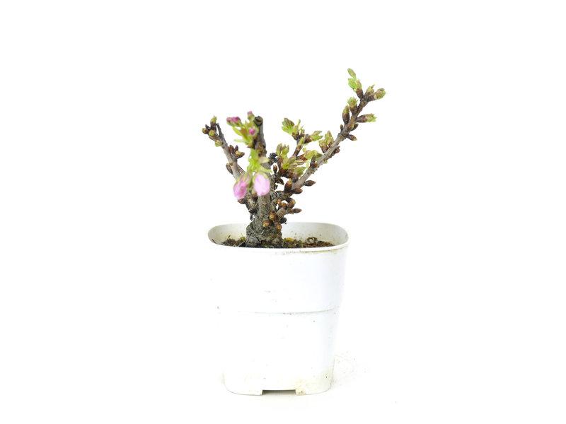 Japanse kers, 15,1 cm, ± 8 jaar oud met mooie roze bloemen