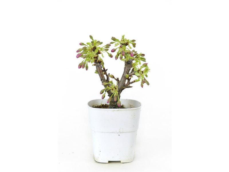 Japanse kers, 15,4 cm, ± 8 jaar oud met mooie roze bloemen