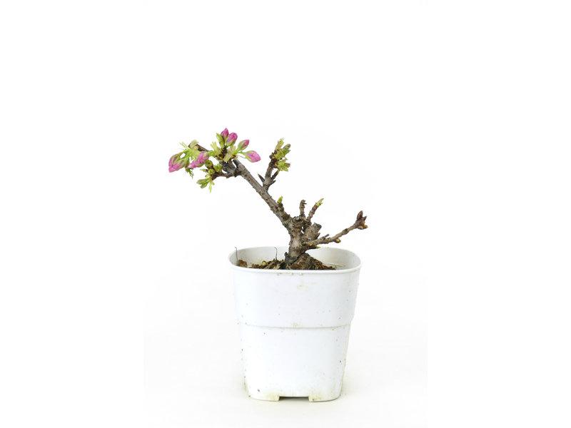 Japanse kers, 15,5 cm, ± 8 jaar oud met mooie roze bloemen