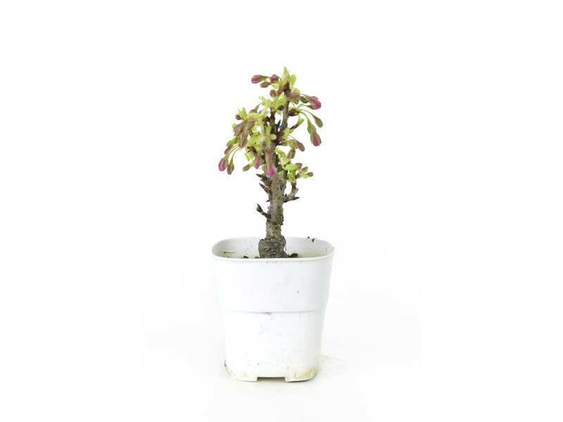 Japanse kers, 15 cm, ± 8 jaar oud met mooie roze bloemen