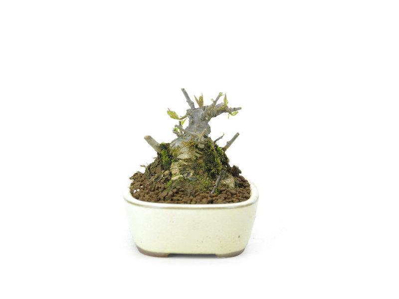 Japanse hulst, 7,1 cm, ± 18 jaar oud in de vrouwelijke variant, hierdoor krijgt hij in het voorjaar witte bloemen en in het najaar rode bessen