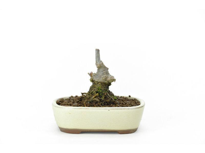 Japanse hulst, 7,5 cm, ± 18 jaar oud in de vrouwelijke variant, krijgt in het voorjaar dus witte bloemen en in het najaar rode bessen