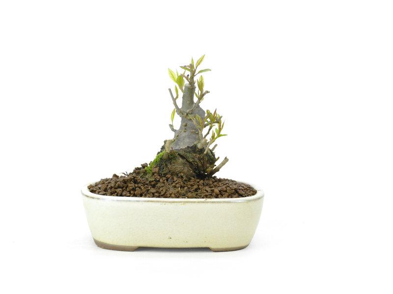 Japanse hulst, 8 cm, ± 18 jaar oud in de vrouwelijke variant, krijgt in het voorjaar dus witte bloemen en in het najaar rode bessen