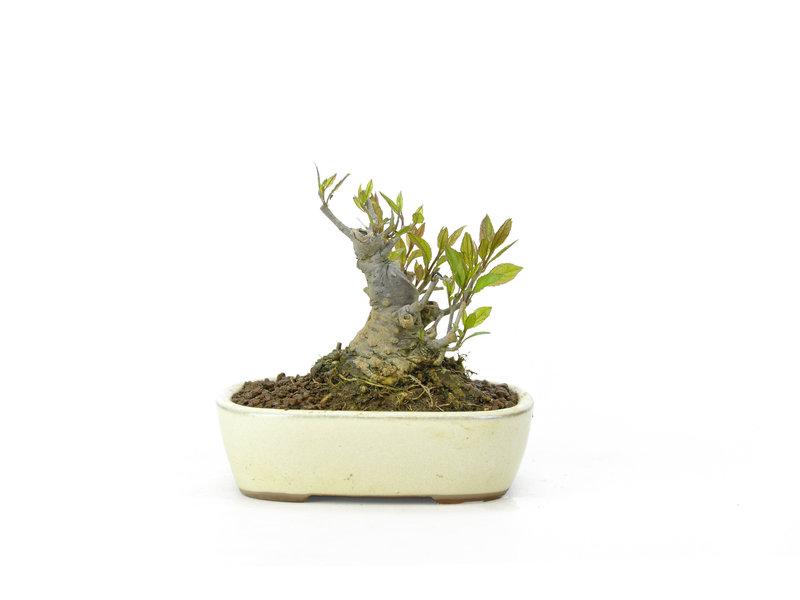 Japanse hulst, 8,5 cm, ± 18 jaar oud in de vrouwelijke variant, krijgt in het voorjaar dus witte bloemen en in het najaar rode bessen