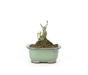 Japanse hulst, 8,1 cm, ± 18 jaar oud