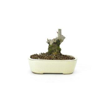 Japanse hulst, 7,5 cm, ± 18 jaar oud