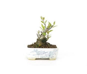 Japanse hulst, 10 cm, ± 18 jaar oud