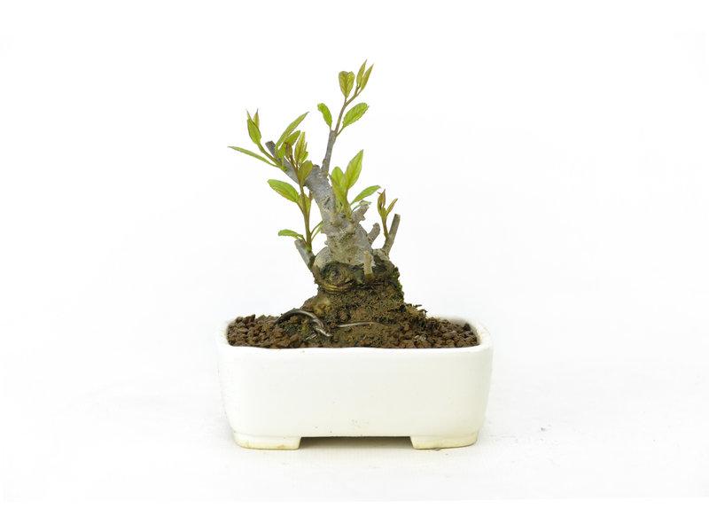 Japanse hulst, 10 cm, ± 18 jaar oud in de vrouwelijke variant, krijgt in het voorjaar dus witte bloemen en in het najaar rode bessen