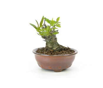 Winterberry japonés, 9,2 cm, ± 18 años
