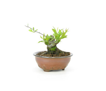Japanese winterberry, 6,5 cm, ± 18 years old