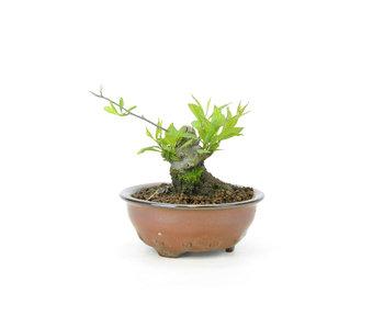 Winterberry japonés, 6,5 cm, ± 18 años